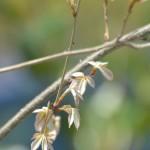 コナラの芽吹き